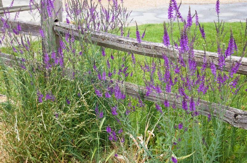 Fleurs sauvages pourpres à côté d'une vieille barrière en bois image libre de droits