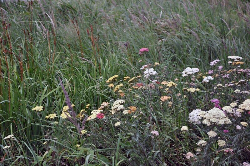 Fleurs sauvages sur un pré dans l'herbe grande Fond images libres de droits