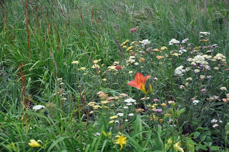 Fleurs sauvages sur un pré dans l'herbe grande Fond photo stock