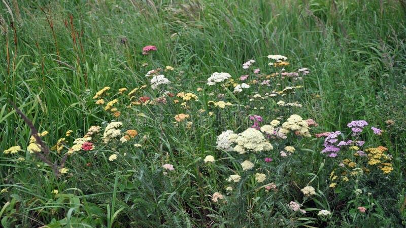 Fleurs sauvages sur un pré dans l'herbe grande Fond photographie stock