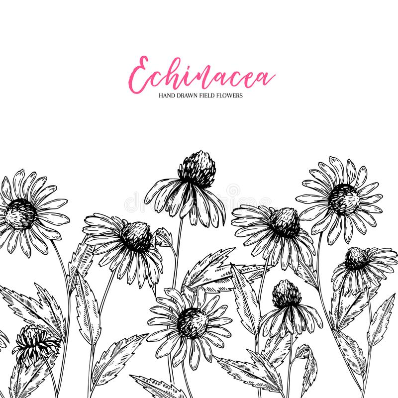 Fleurs sauvages tirées par la main Fleur de purpurea d'Echinacea Herbe médicale Art gravé par vintage Composition en frontière Bo illustration libre de droits