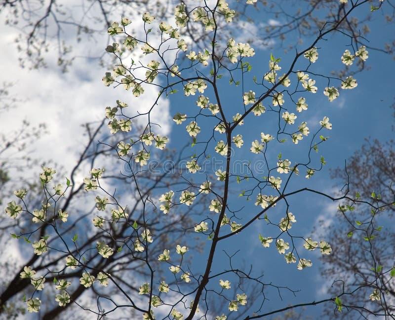 Fleurs sensibles d'arbre de cornouiller images stock