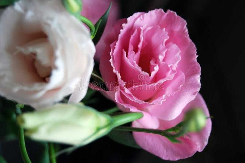 Fleurs sensibles de gentiane de prairie dans la lumière naturelle sur le fond foncé photos libres de droits