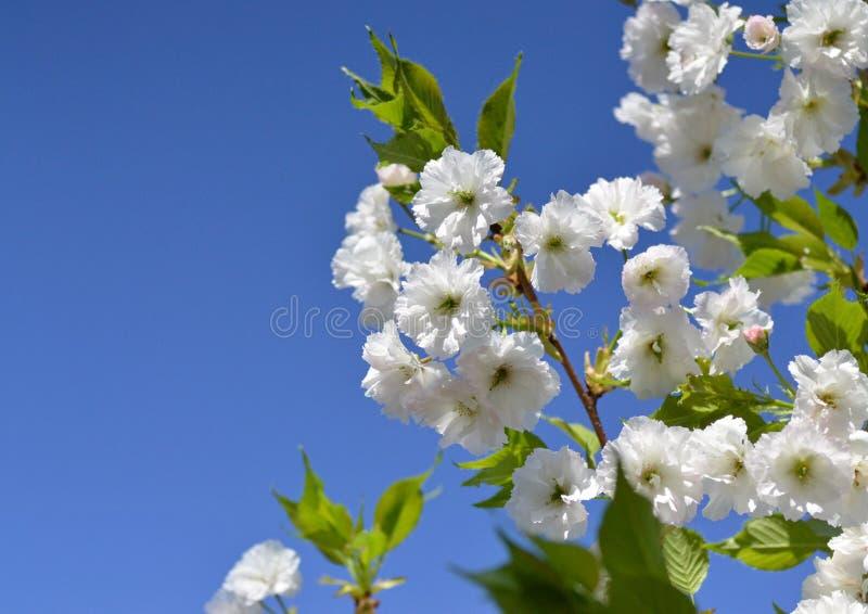Fleurs sensibles de Sakura contre le ciel bleu photo stock