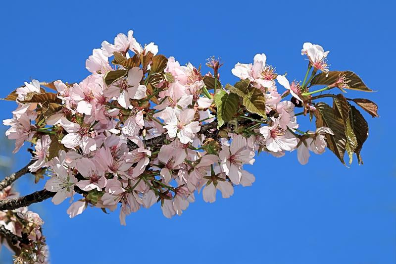 Fleurs sensibles de Sakura sur un fond de ciel bleu images stock