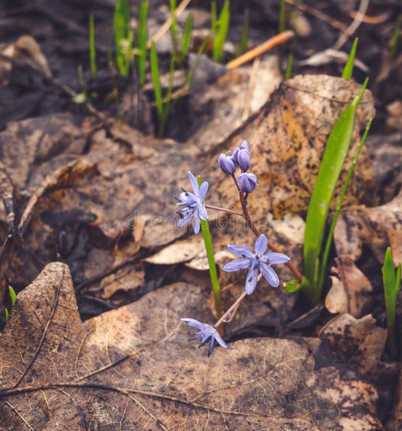 Fleurs sensibles de source L'arome et la fraîcheur de la forêt image stock