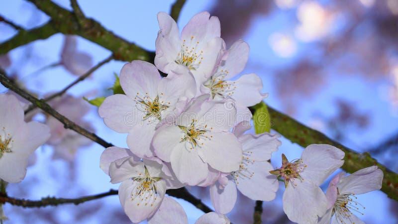 Fleurs sensibles et belles de cerise sur la branche sur le fond de ciel bleu Sakura Blossom Fleur de cerise japonaise images libres de droits