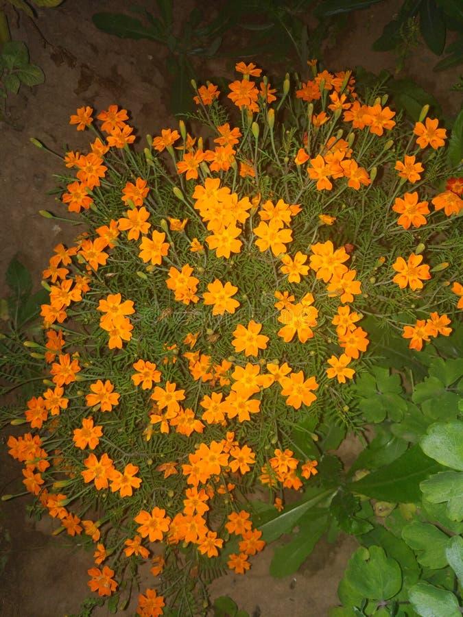 Fleurs sibériennes photographie stock