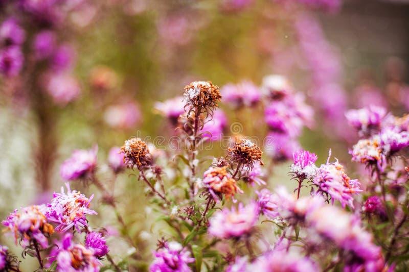 Fleurs sous la neige photographie stock