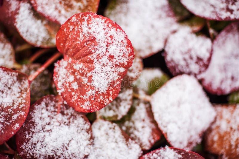 Fleurs sous la neige photographie stock libre de droits