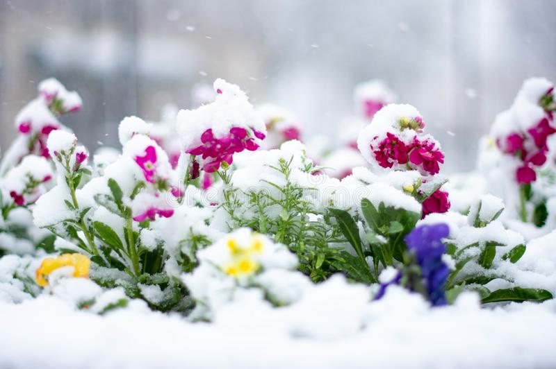 fleurs-sous-la-neige-matin-impr%C3%A9visible-en-avril-naperville-riverwalk-154213402.jpg