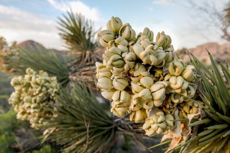 Fleurs sur Joshua Tree en ressort humide photos libres de droits
