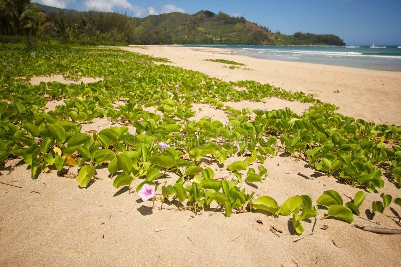 Fleurs sur la plage de compartiment de Hanalei. image libre de droits