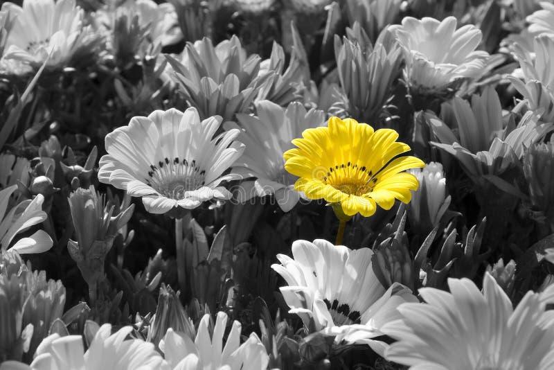 Fleurs sur les noires et blanches dans la couleur jaune image stock