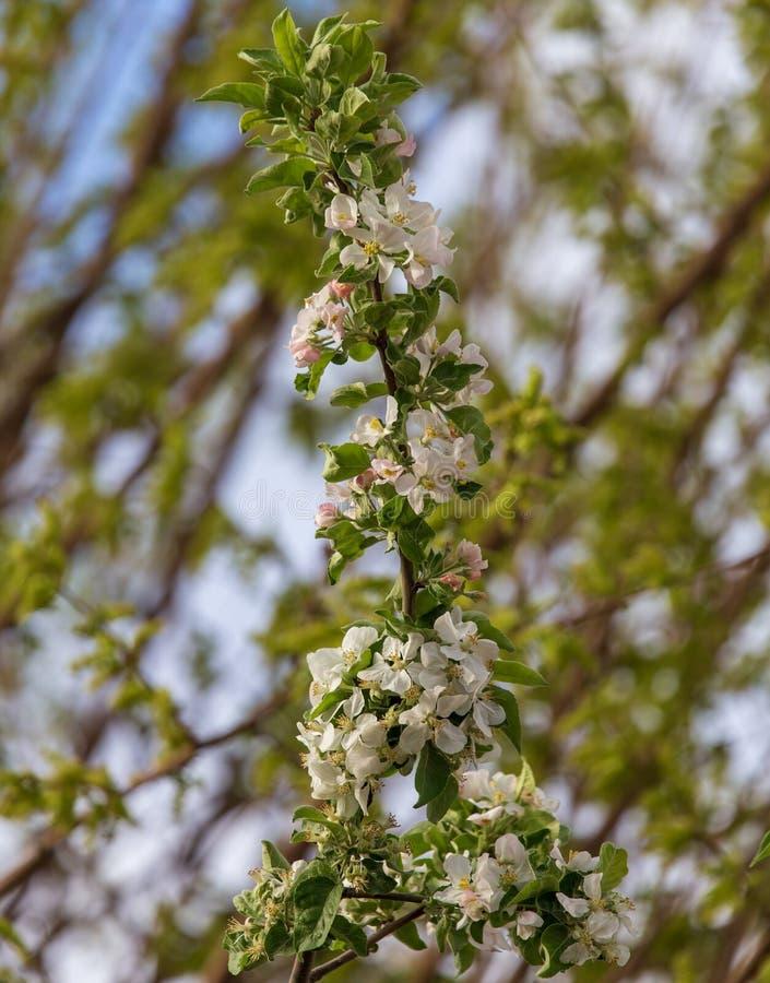 Fleurs sur un arbre fruitier au printemps images libres de droits