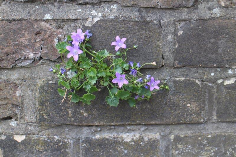 Fleurs sur un mur photo libre de droits