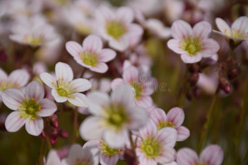 Fleurs tôt de jardin de ressort photo libre de droits