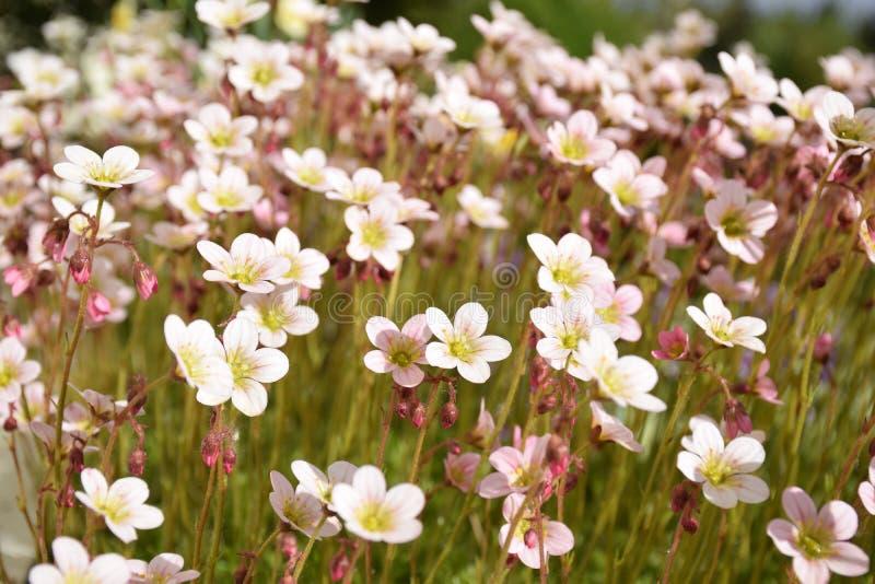 Fleurs tôt de jardin de ressort photographie stock libre de droits