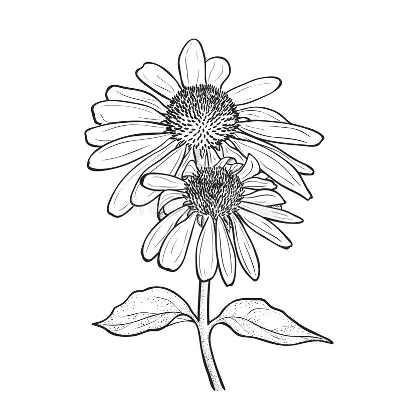 Fleurs tirées par la main - purpurea d'Echinacea illustration libre de droits