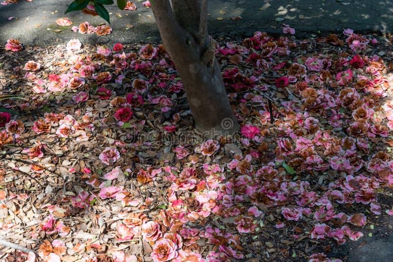 Fleurs tombées de camélia sous un grand arbre de camélia dans le printemps photographie stock