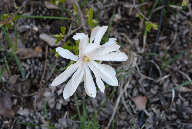 Fleurs très originales avec de belles feuilles oblongues et fleurs blanches lumineuses, stichwort image libre de droits