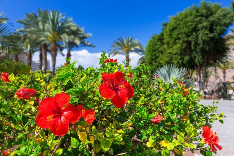 Fleurs tropicales de ketmie sur l'île de Canaria de mamie image libre de droits