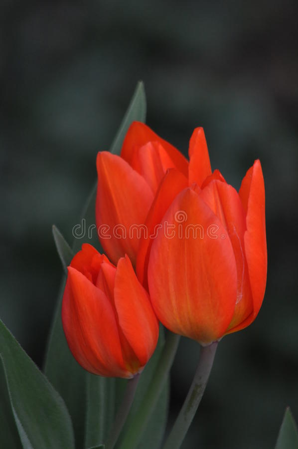 Fleurs, tulipe photo stock
