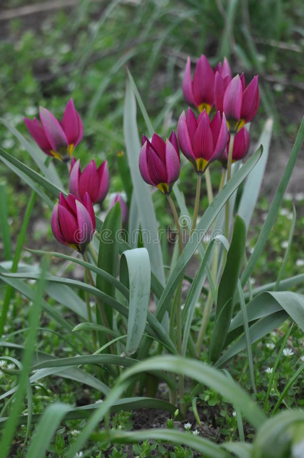 Fleurs, tulipe image libre de droits