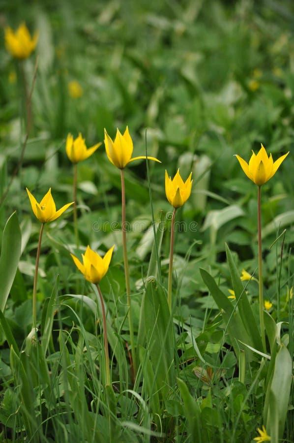 Fleurs, tulipe photos stock