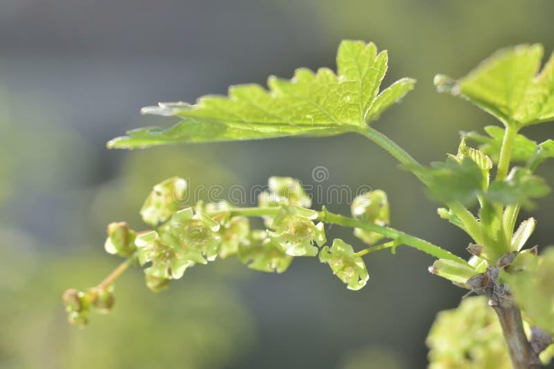 Fleurs vertes de groseille images libres de droits