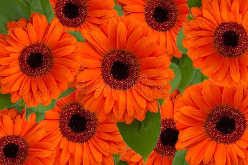 Fleurs vibrantes de Gerbera images libres de droits