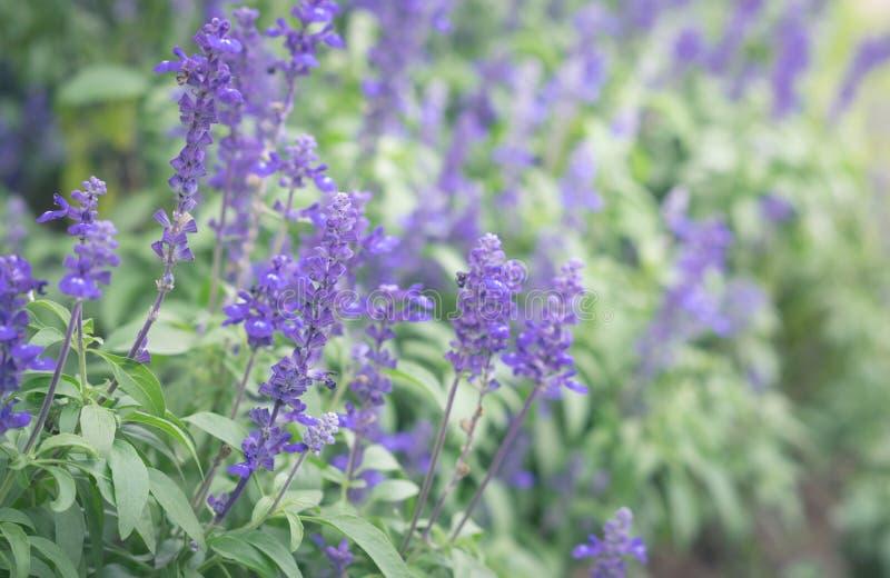 Fleurs violettes dans le jardin photo stock