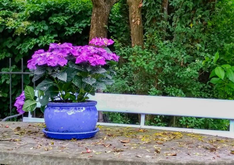 Fleurs violettes dans le pot photos stock