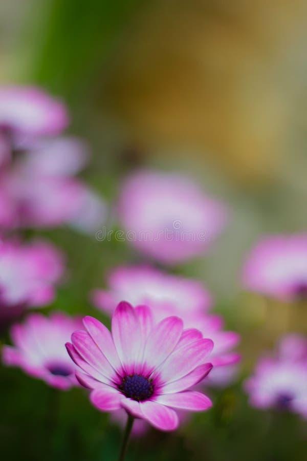 Fleurs violettes de calendula dans le jardin photo stock