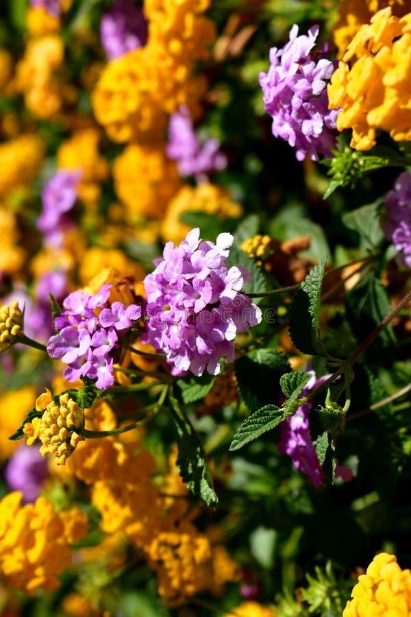 Fleurs violettes et oranges dans un buisson avec les feuilles vertes Milieux : lumière du soleil images stock