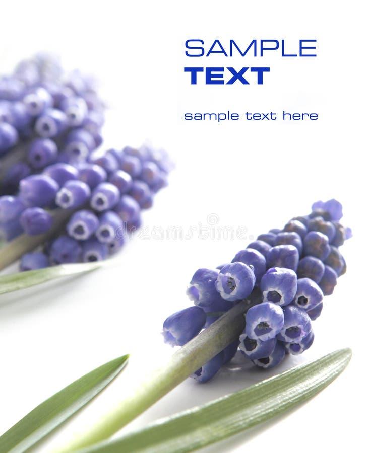 Fleurs violettes (faciles à enlever le texte) photo stock