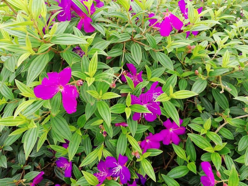 Fleurs violettes pour le fond, papier peint photos stock