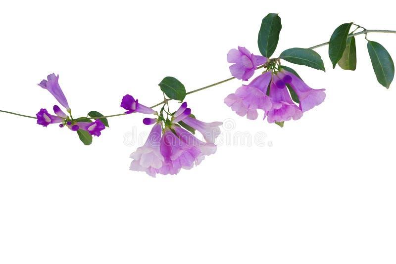 Fleurs violettes pourpres avec les feuilles vertes de la vigne Mansoa a d'ail photographie stock libre de droits