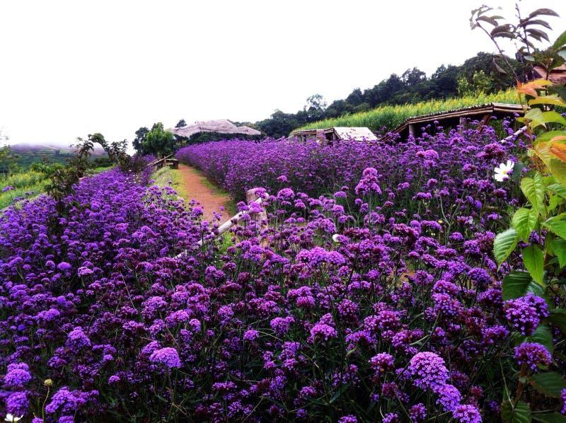 Fleurs violettes sur la montagne image libre de droits