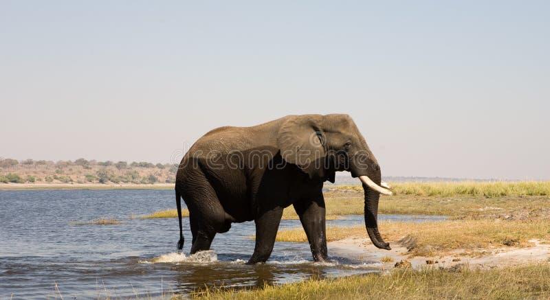 Fleuve de croisement d'éléphant photographie stock libre de droits