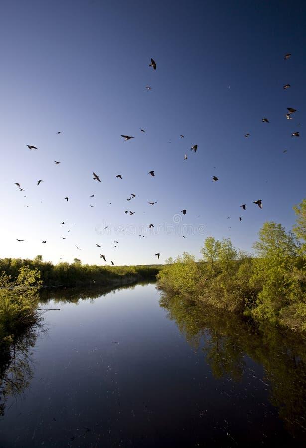 Fleuve et hirondelles de Saskatchewan photographie stock libre de droits