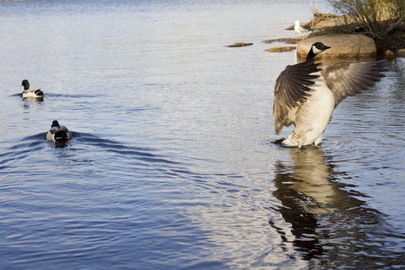 Flexion утки стоковые изображения