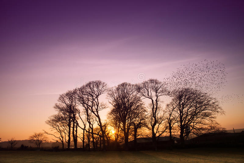 Starlings. A flick of starlings flying out of trees at sunset Isle of Anglesey royalty free stock image