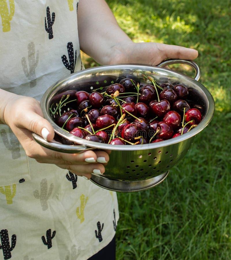 Flicka i förklädet som rymmer en durkslag med den mogna söta körsbäret i trädgården arkivbilder