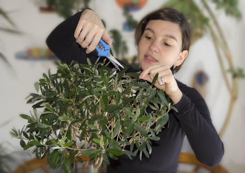 Flicka som klipper bonsai för olive tree arkivbilder