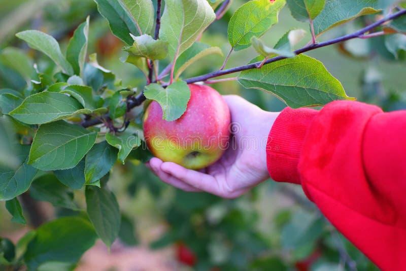 Flickahanden väljer äpplet royaltyfri foto
