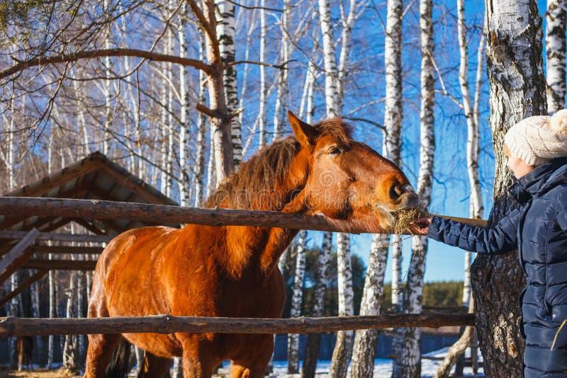 Flickan ger hästhö med utsträckta händer arkivbilder