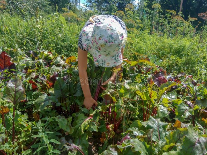 Flickan hjälper att skörda i trädgården arkivfoto