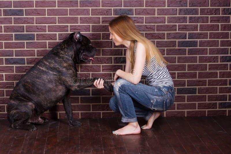Flickan i jeans och t-skjortan Cane Corso hund lär att kommandot Give tafsar royaltyfria bilder
