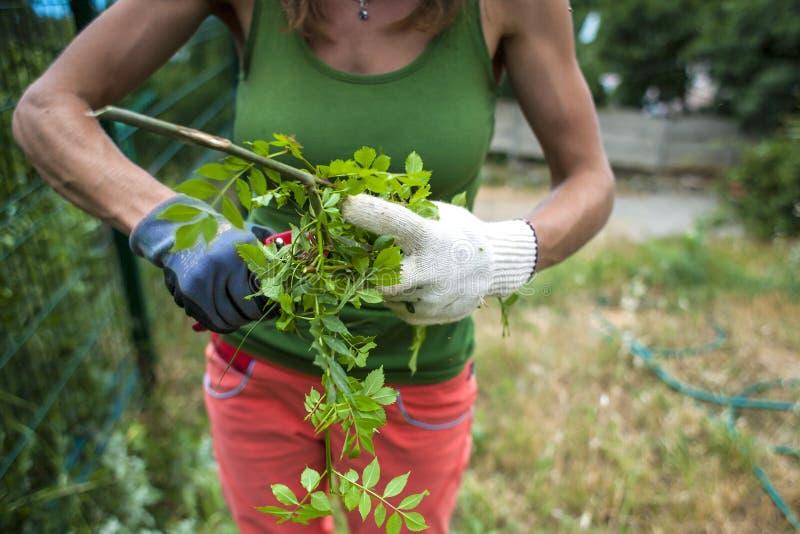 Flickan klipper växterna med en pruner royaltyfri foto